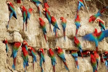 macaws-clay-lick peru