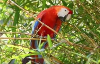 COSTA-RICO-PARROT